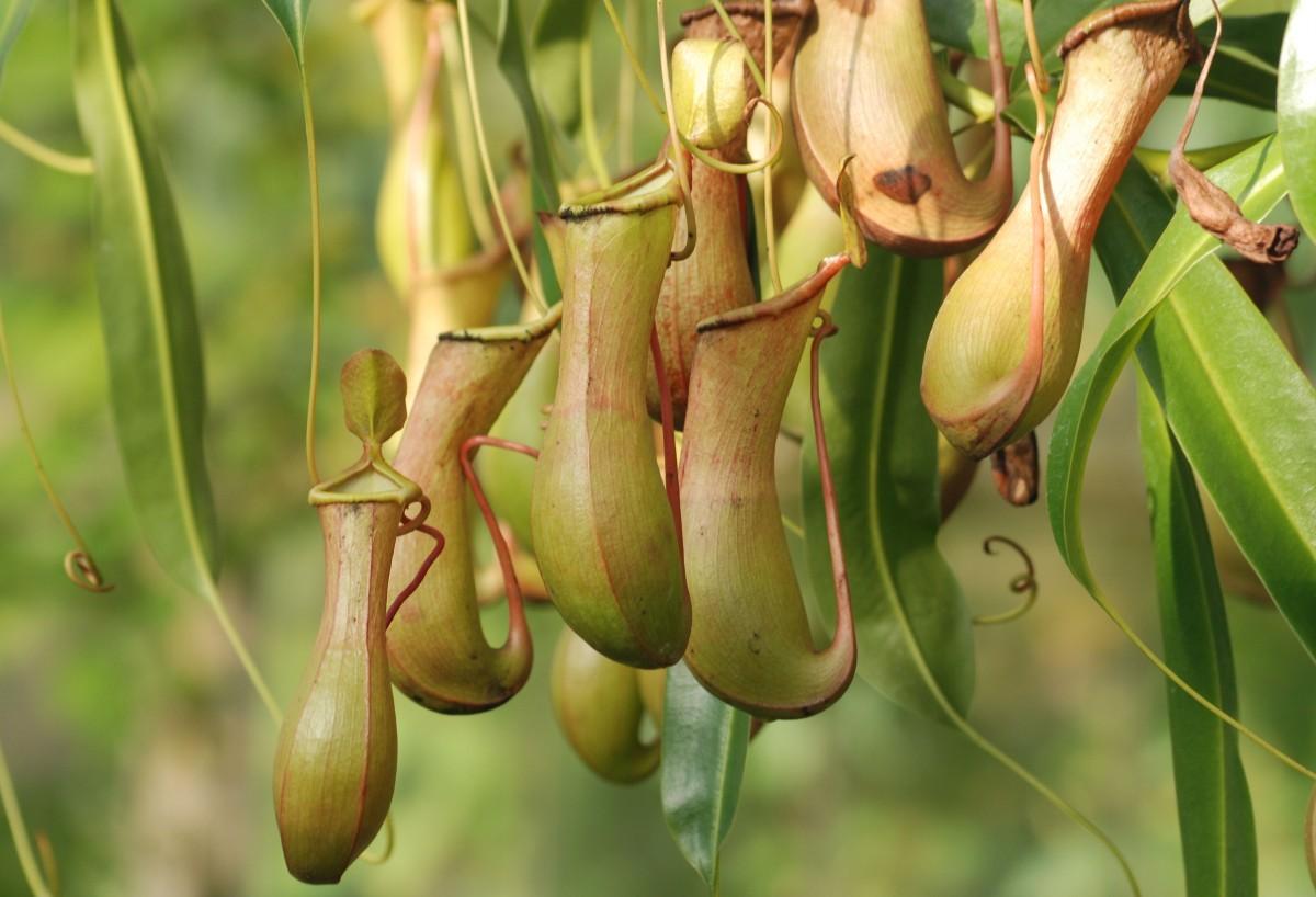 Ciri Khusus Tumbuhan Kantong Semar Dan Fungsinya
