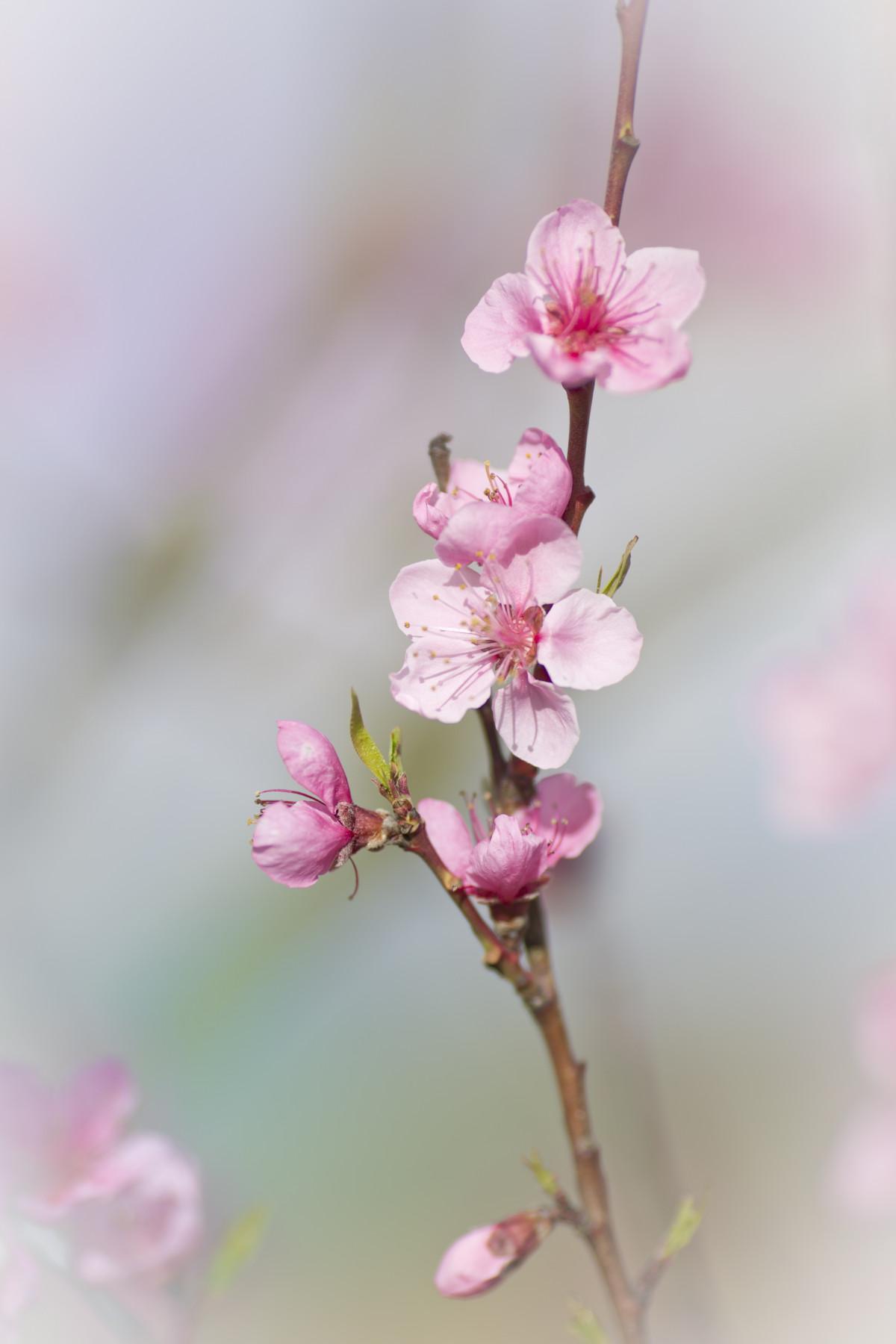 Free Images : nature, branch, fruit, petal, food, produce ...