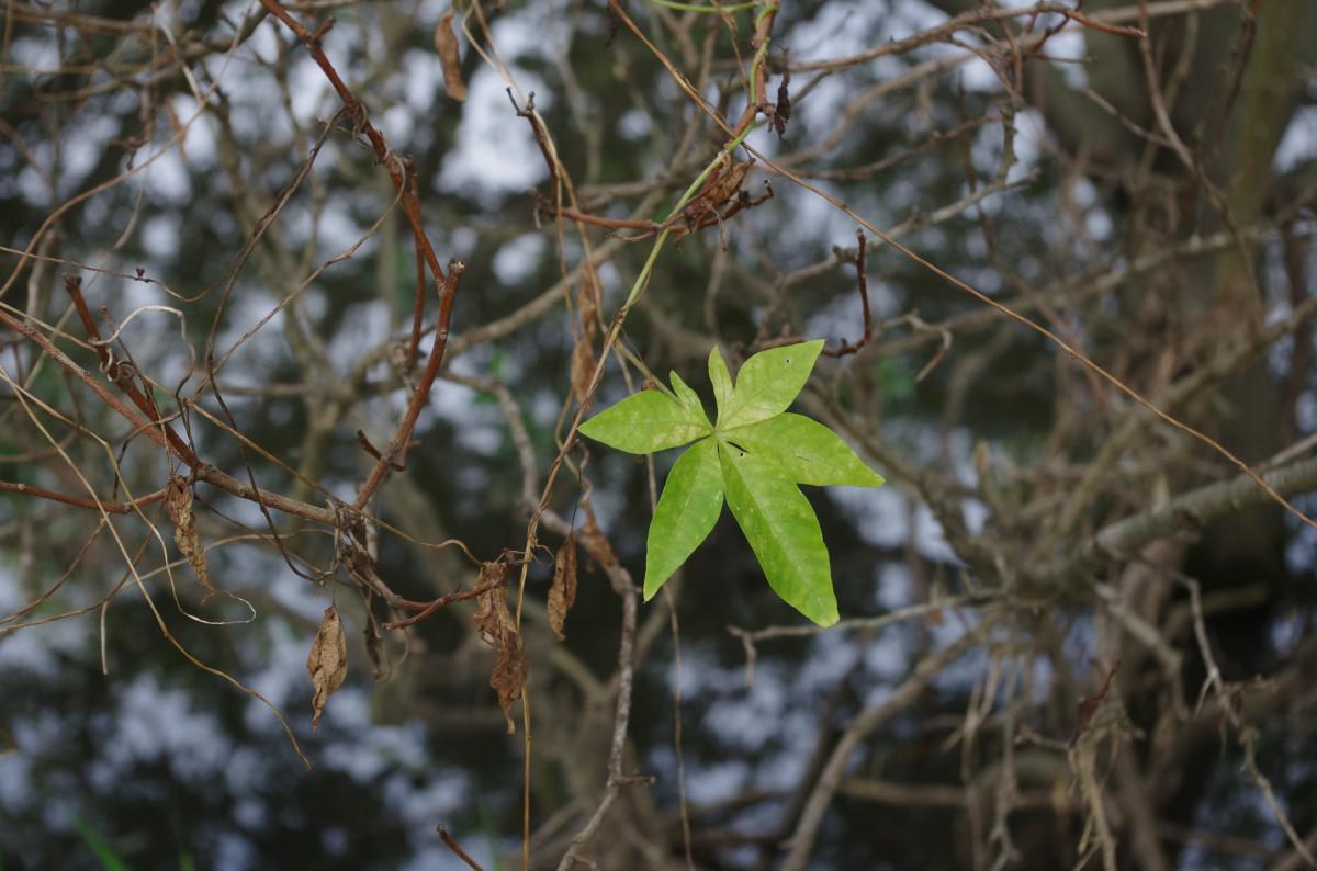 Images gratuites arbre la nature for t branche fleur for Plante 9 feuilles