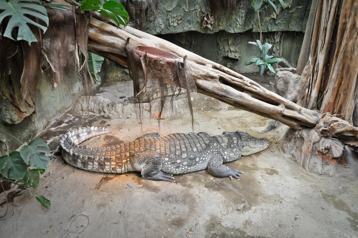 https://c.pxhere.com/photos/ad/cf/animals_zoo_underwater_wildlife_swamp_vicious_reptiles_crocodiles-265307.jpg!d