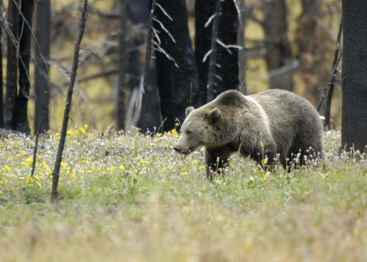 становится несколько картинки бурый медведь волк если она просторная