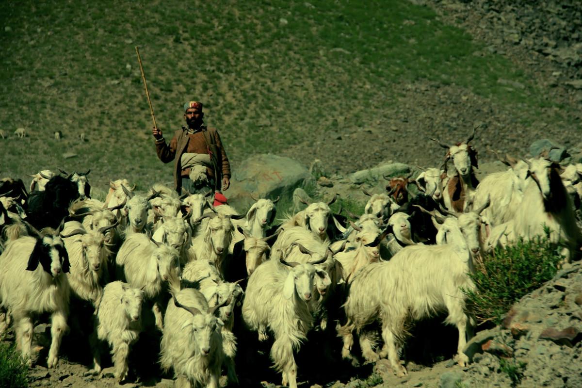 grass, goat, herd, livestock, sheep, tibet, shepherd, goats, india, ladakh, herder, goatherd, cow goat family, Free Images In PxHere