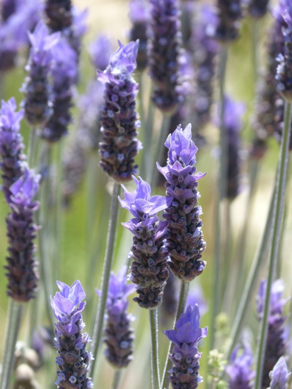 Images gratuites la nature prairie fleur t herbe barre provence plante fleurs - Plants de lavande a vendre ...