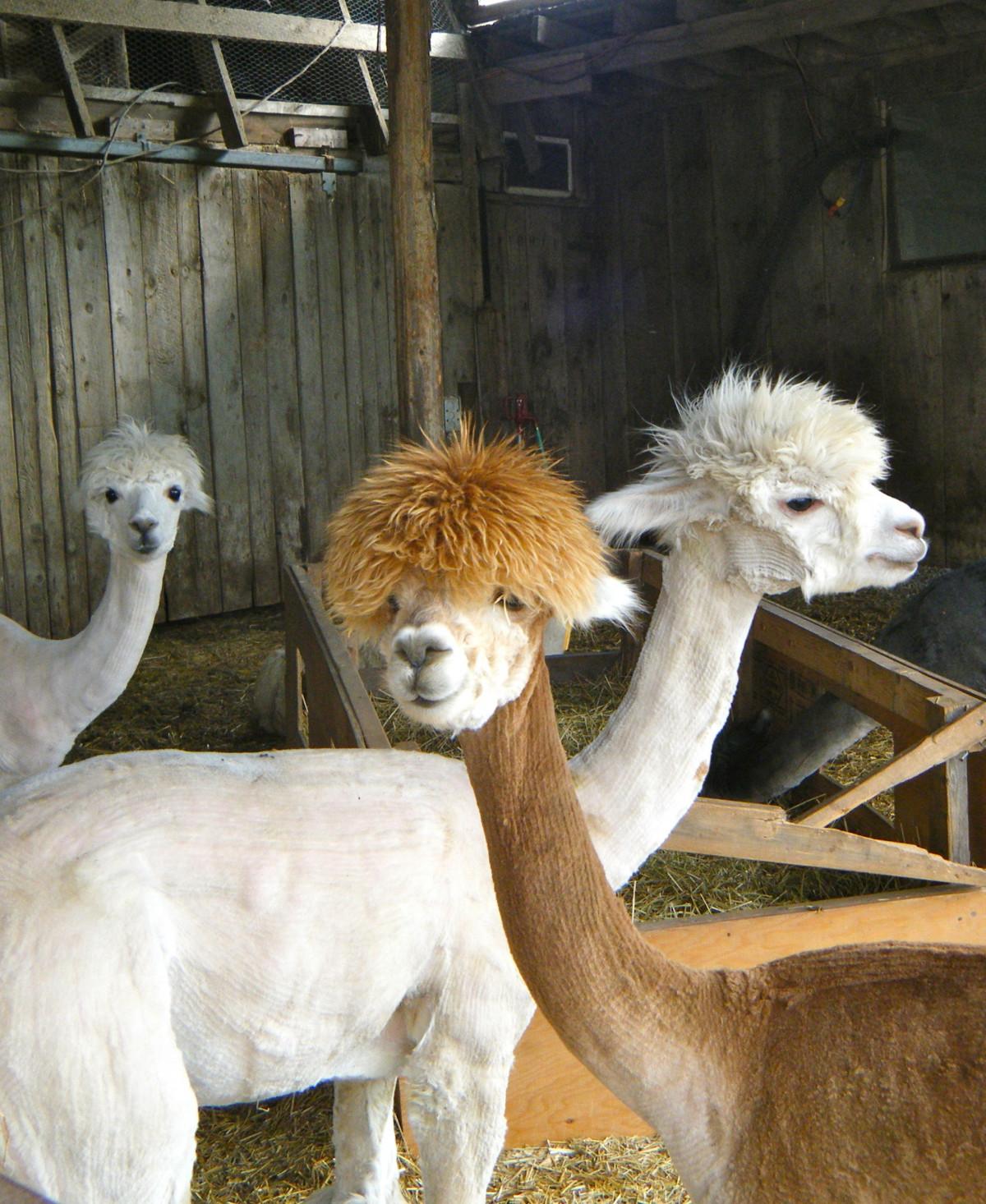 Free Images : nature, hair, farm, animal, cute, wildlife ... Llamas The Animal