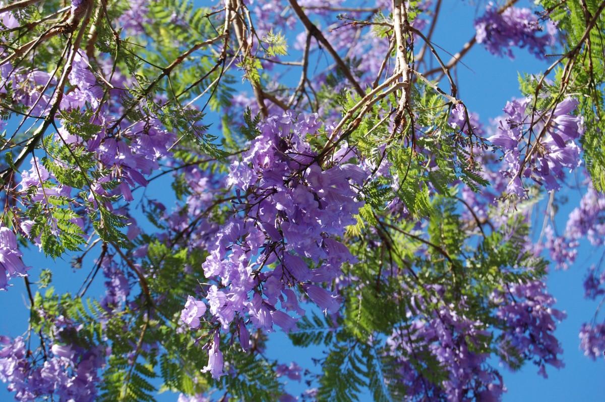 images gratuites arbre la nature branche violet floraison botanique bleu flore fleur. Black Bedroom Furniture Sets. Home Design Ideas