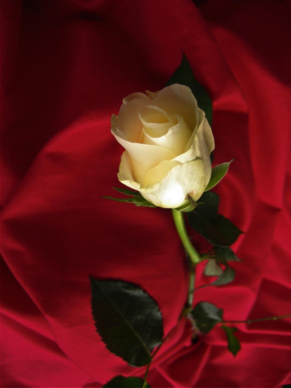 Картинки роз для любимой девушки