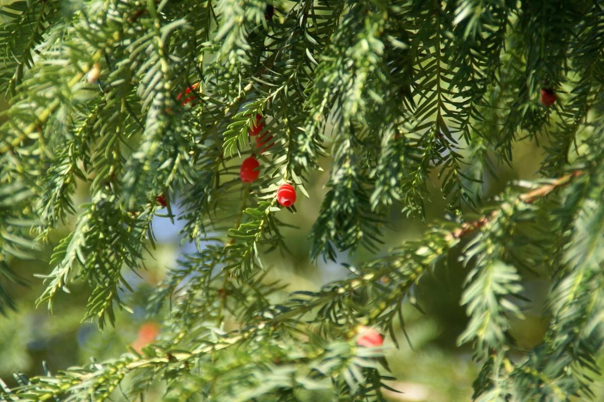 images gratuites la nature branche plante fruit environnement vert rouge feuilles. Black Bedroom Furniture Sets. Home Design Ideas