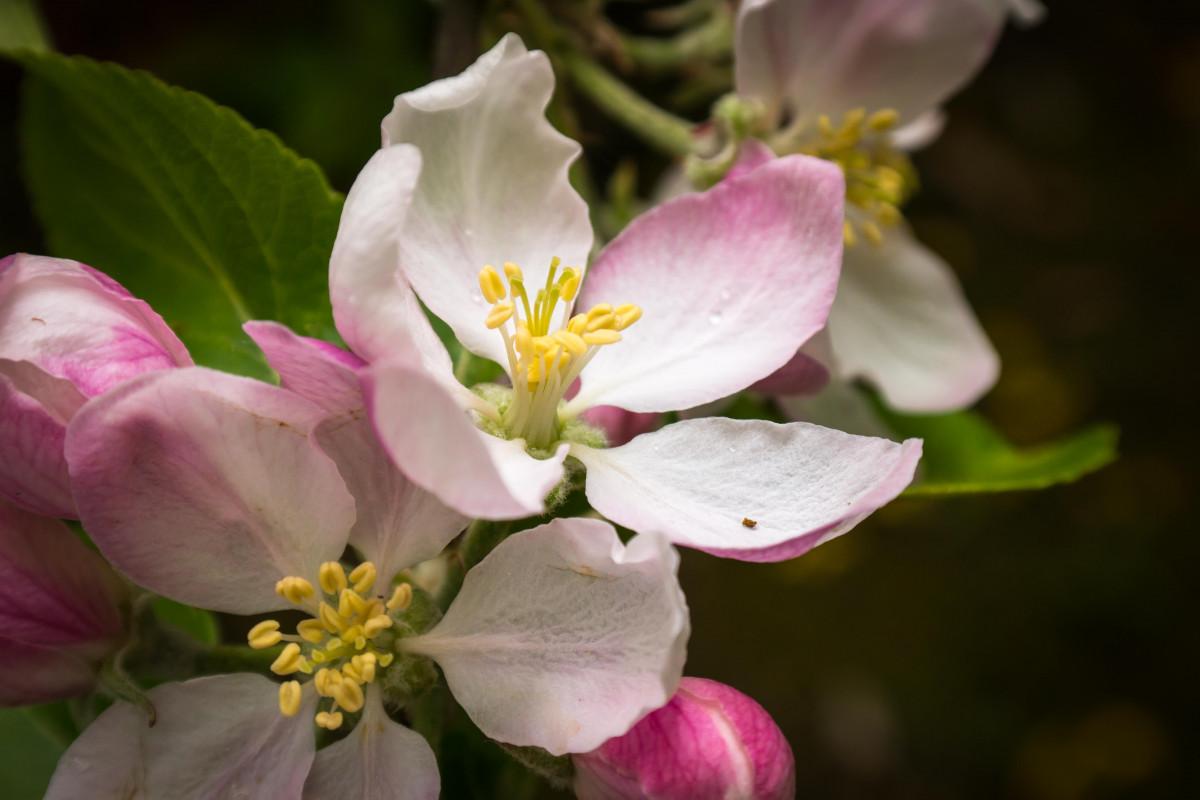 Цветок яблони крупным планом
