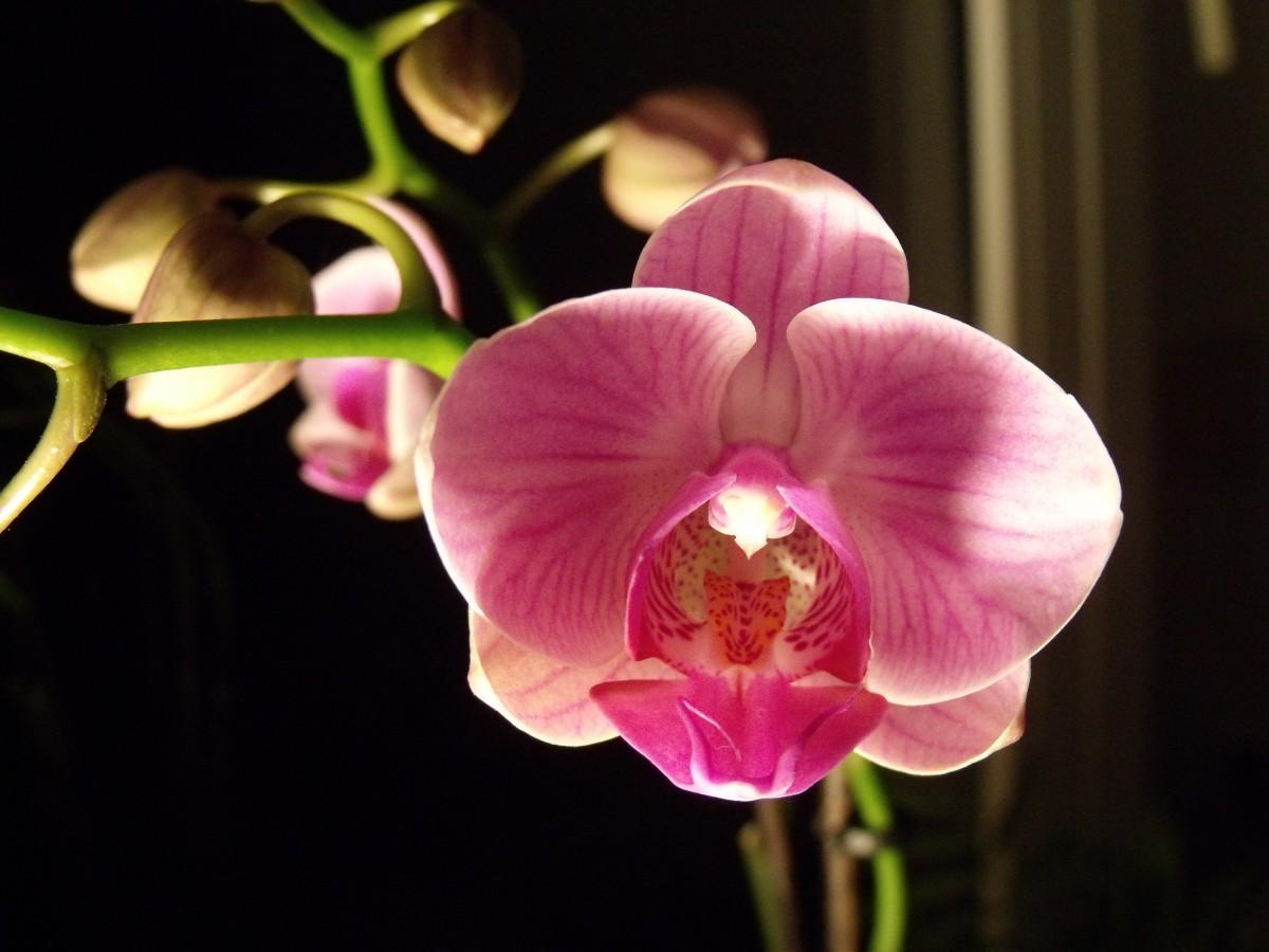 Орхидея фаленопсис. Цветы орхидеи, редкие