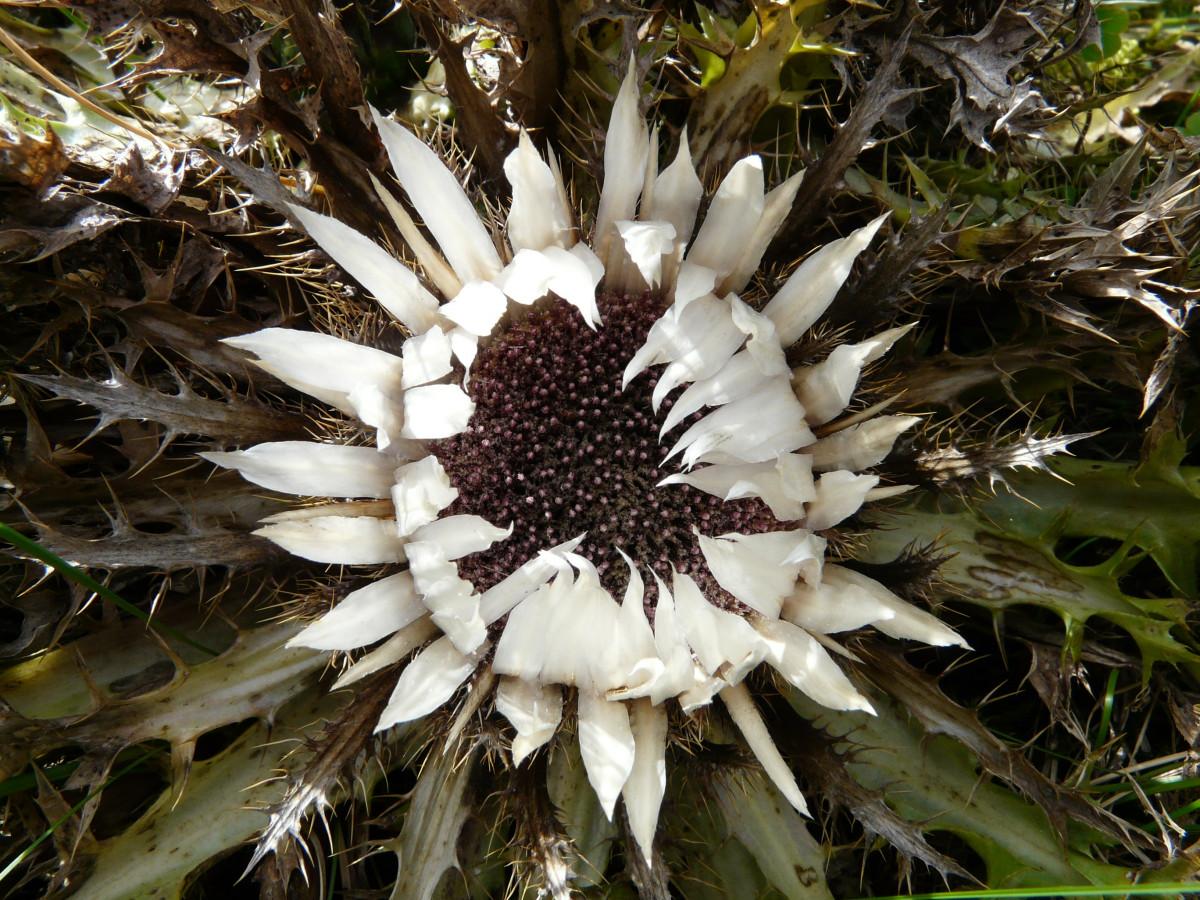 images gratuites la nature fleur herbe botanique flore fleur sauvage chardon cosse. Black Bedroom Furniture Sets. Home Design Ideas