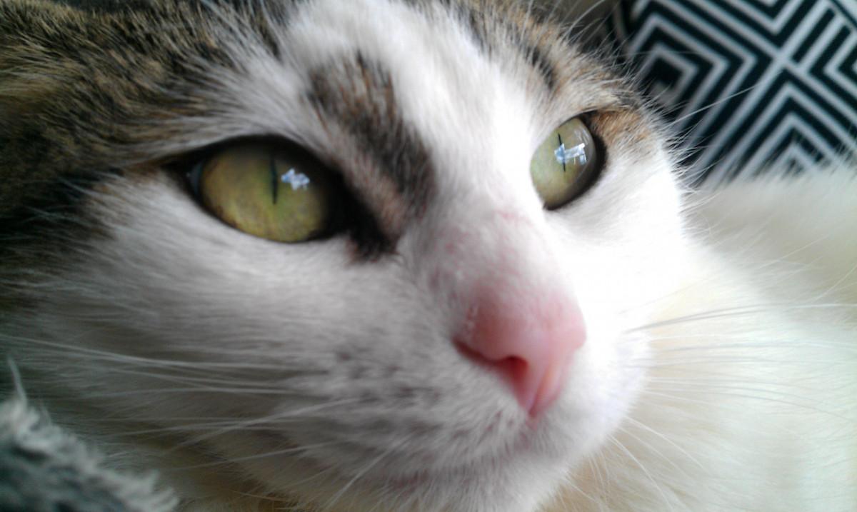 Free animal pet kitten nose whiskers vertebrate