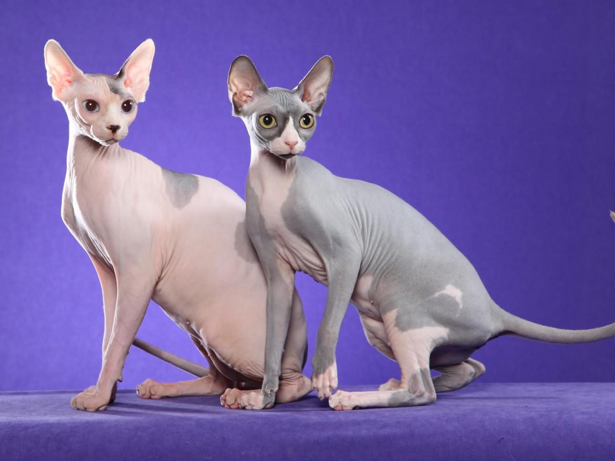 velké nahé kočičky