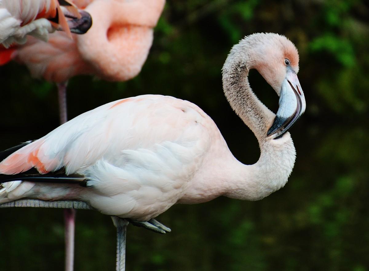 kostenlose foto vogel schnabel bunt v gel flamingo. Black Bedroom Furniture Sets. Home Design Ideas