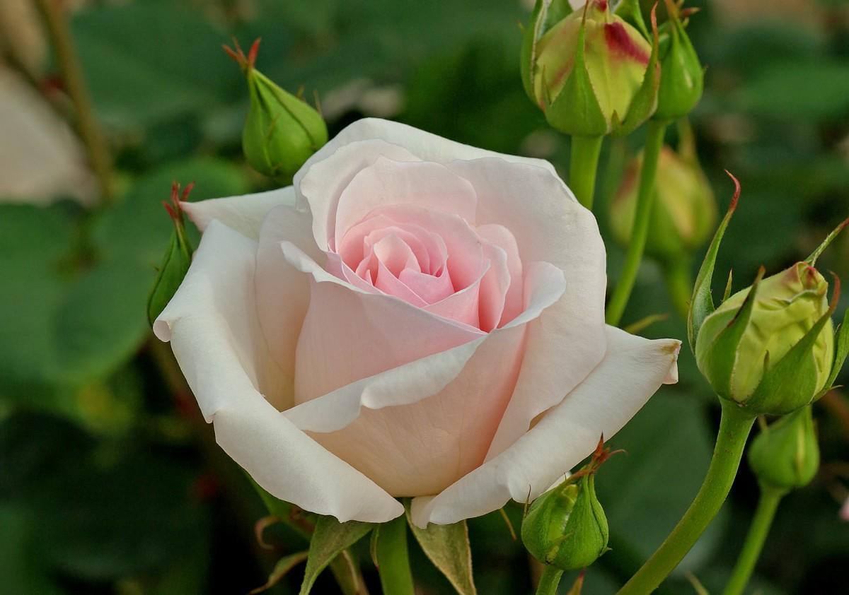 символ чайные розы показать картинки расчёты