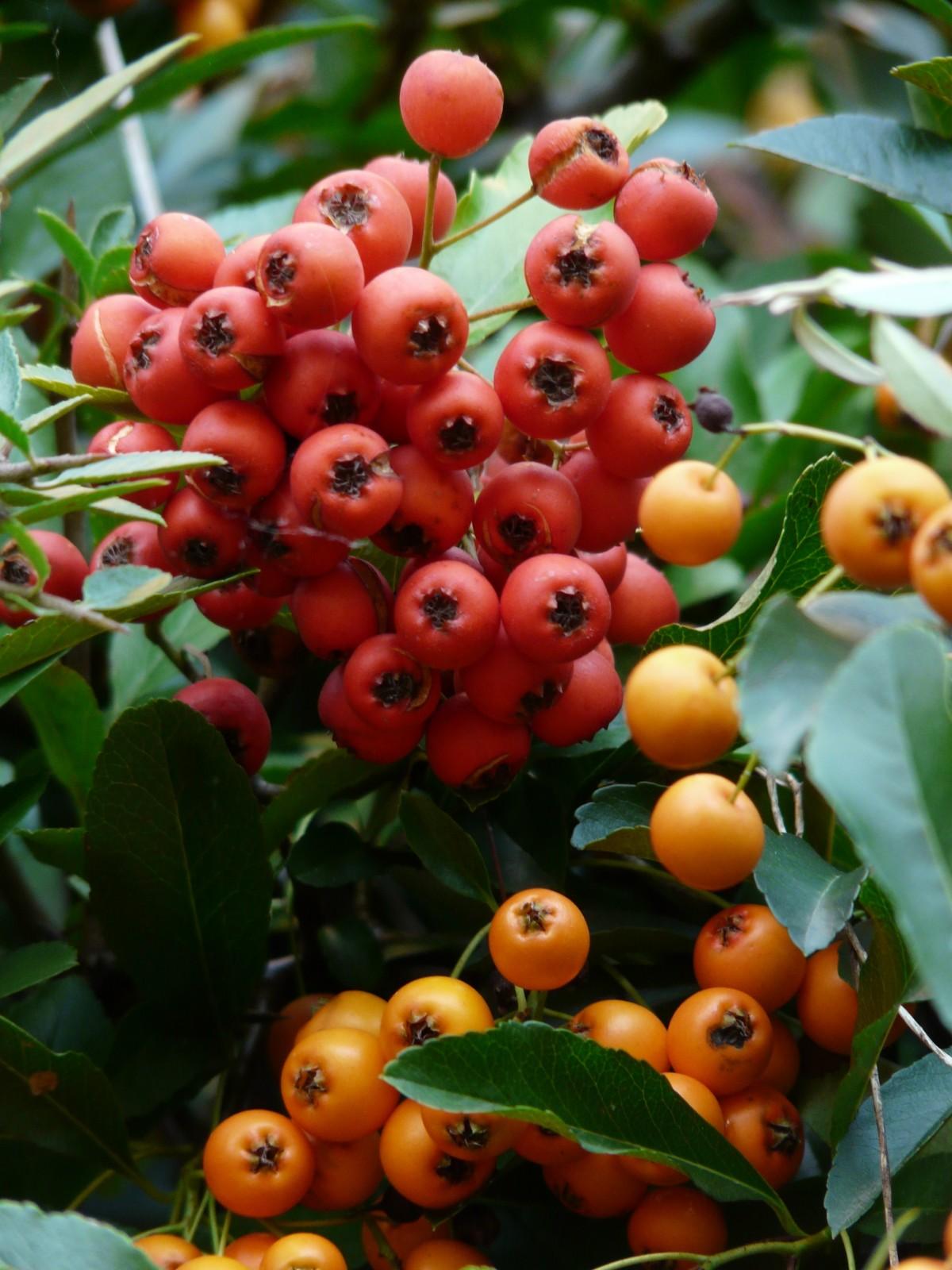 Images gratuites fruit baie fleur aliments produire for Plante orange