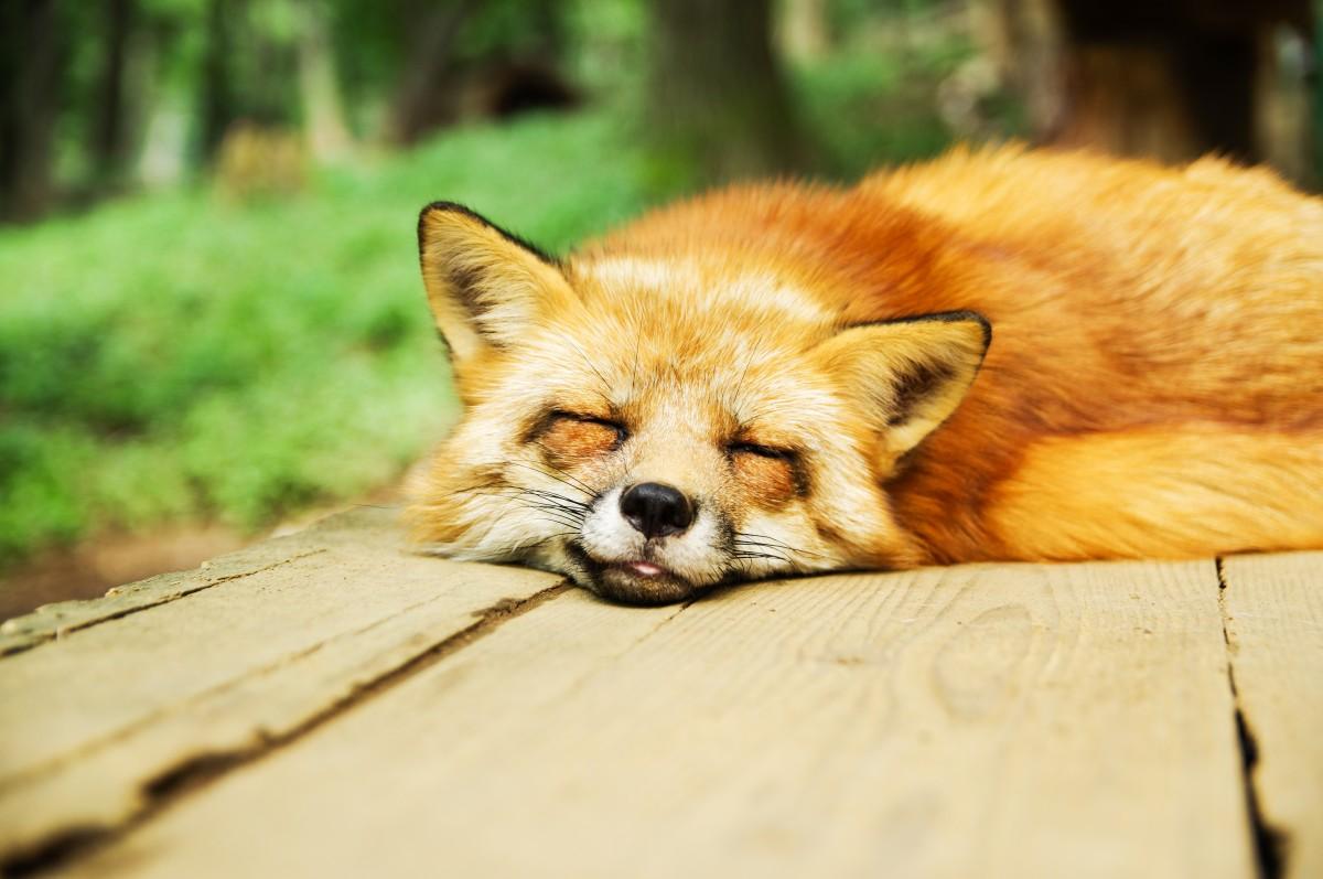 https://c.pxhere.com/photos/b2/0e/animal_fox_cute_sleeping_sleep_sleep_deprivation-853276.jpg!d