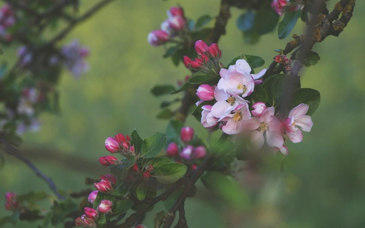 Images gratuites branche p tale produire rose japon fleur de cerisier tokyo sakura - Arbre rose japon ...