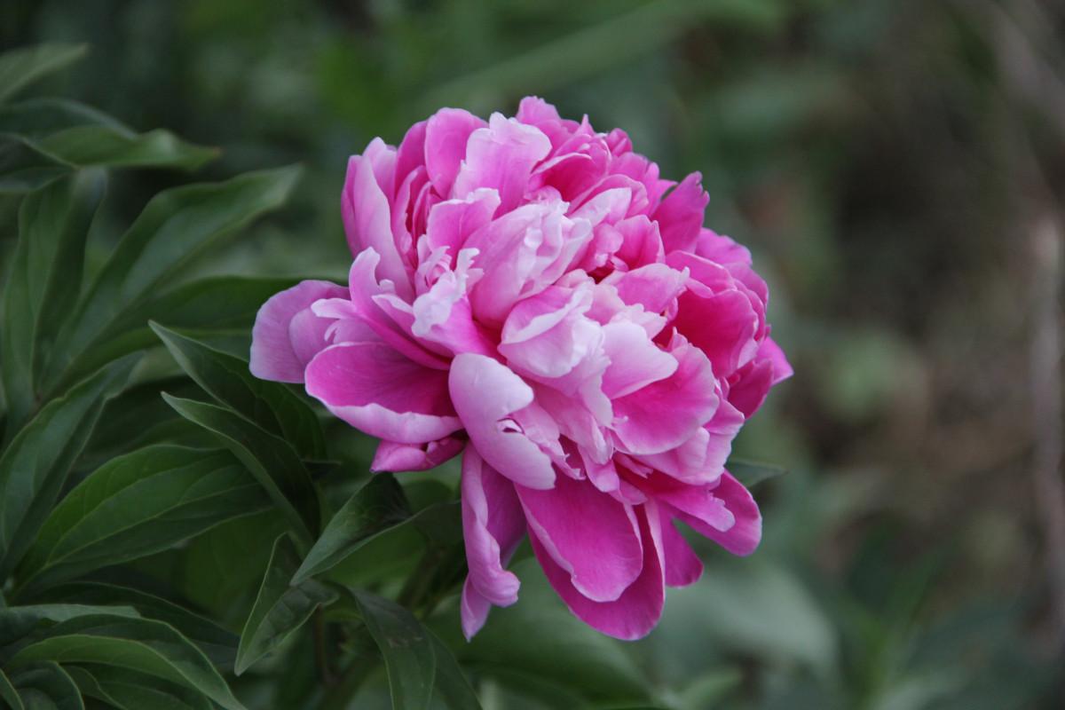 Днем рождения, картинки цветов пионы
