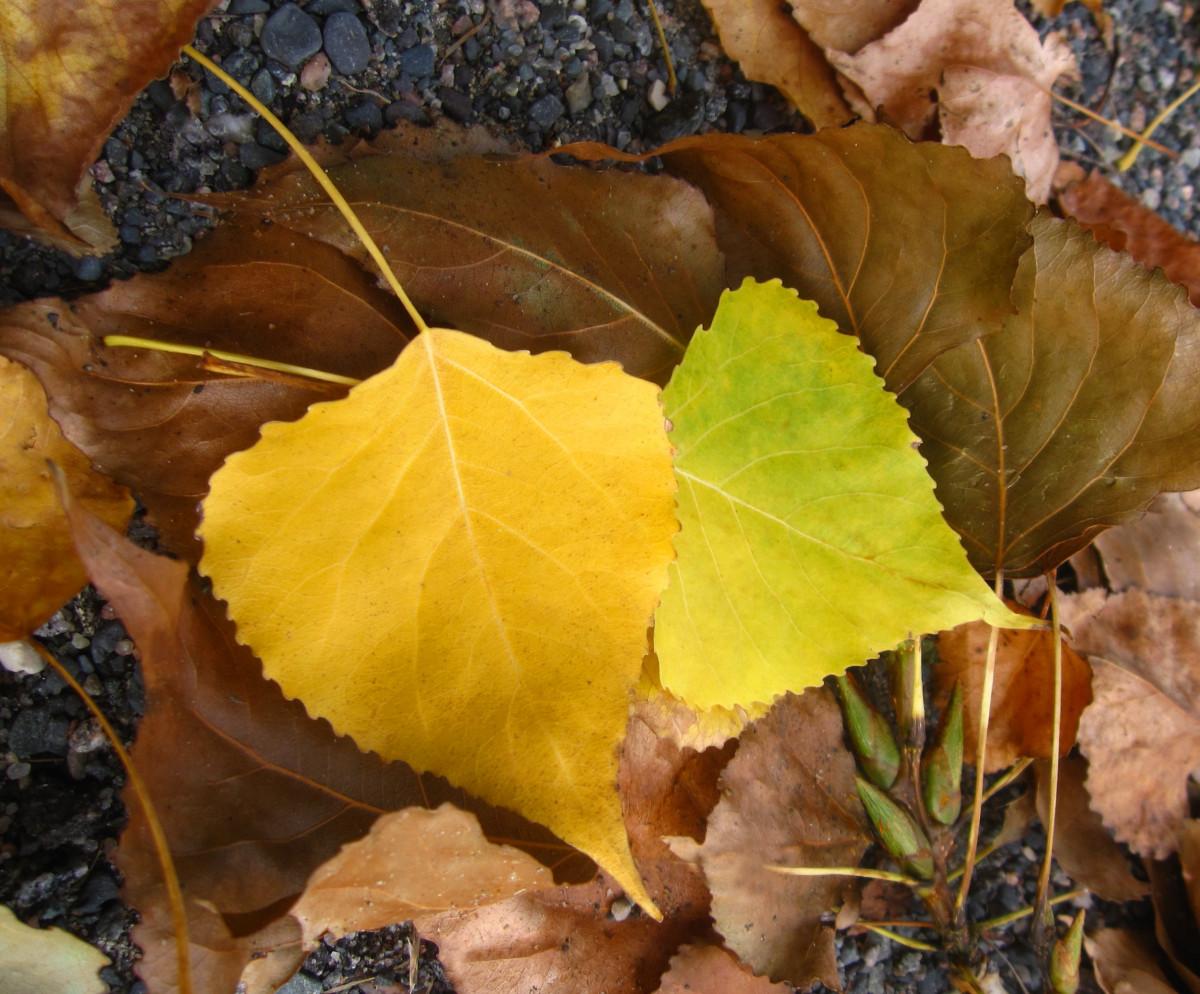 Картинка желтый березовый лист