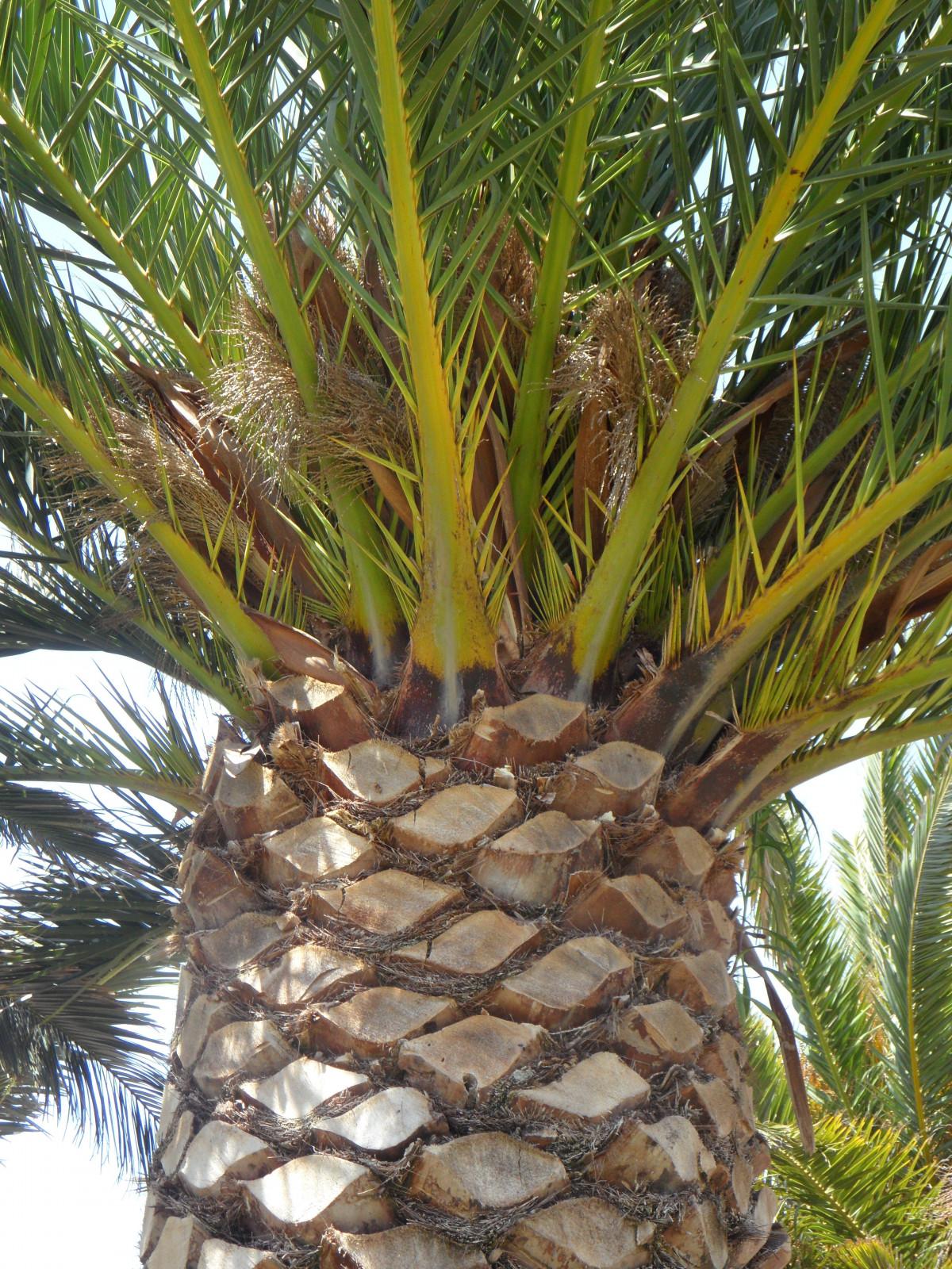 images gratuites fruit aliments produire botanique ananas noix de coco plante fleurs. Black Bedroom Furniture Sets. Home Design Ideas