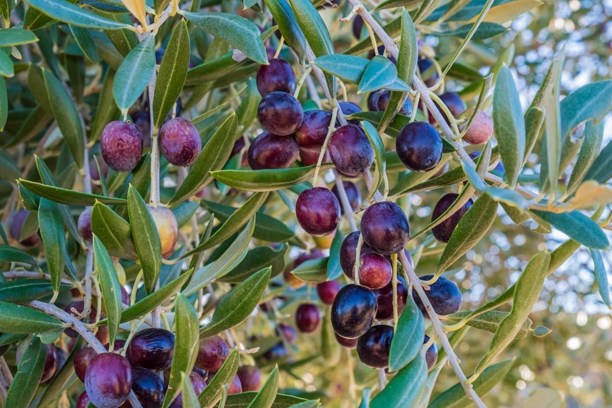 Оливки или маслины в чём разница и польза? Разновидности 18