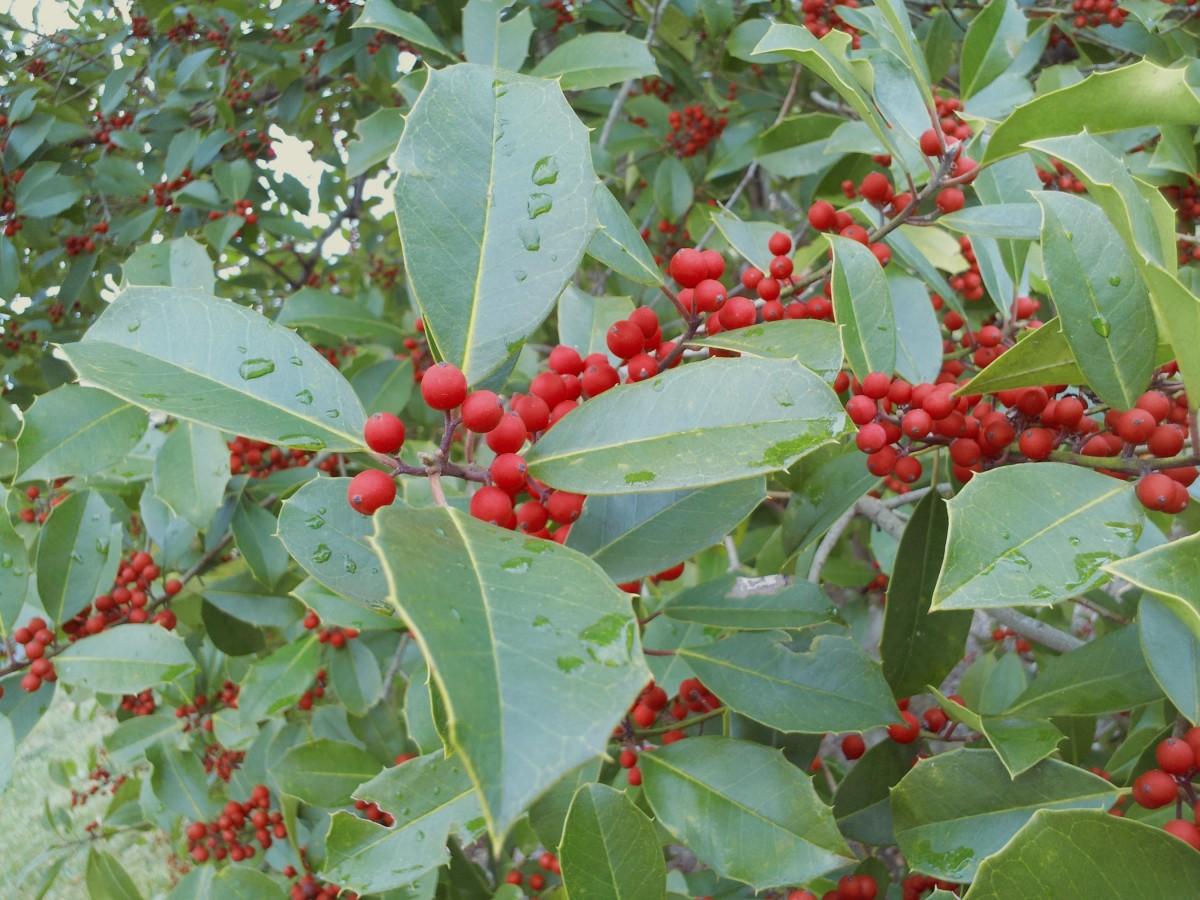 images gratuites la nature plante fruit baie feuille sauvage vert rouge feuilles. Black Bedroom Furniture Sets. Home Design Ideas
