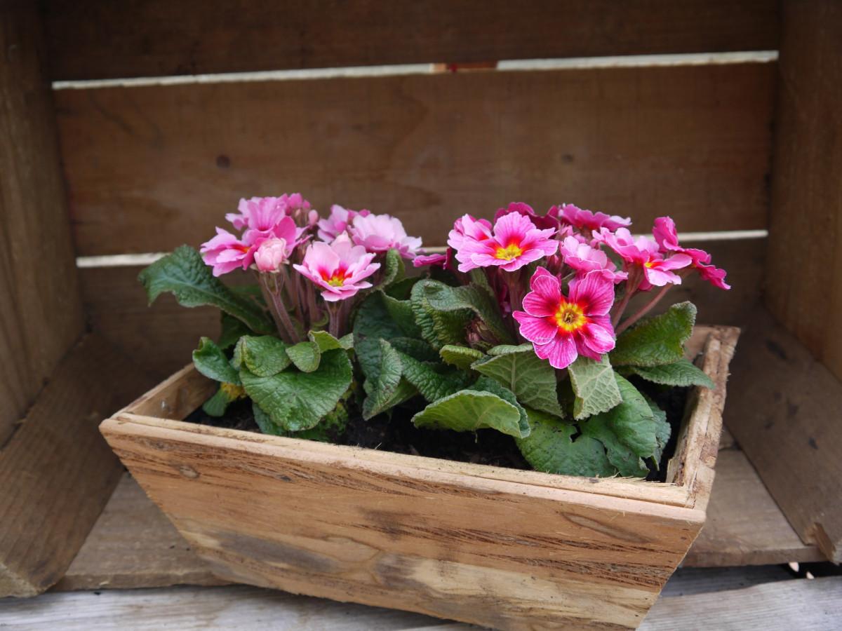 Gratis billeder : natur, forår, plantageejer, udendørs, pin, blomsterkrukke, alpeviol, blomster ...