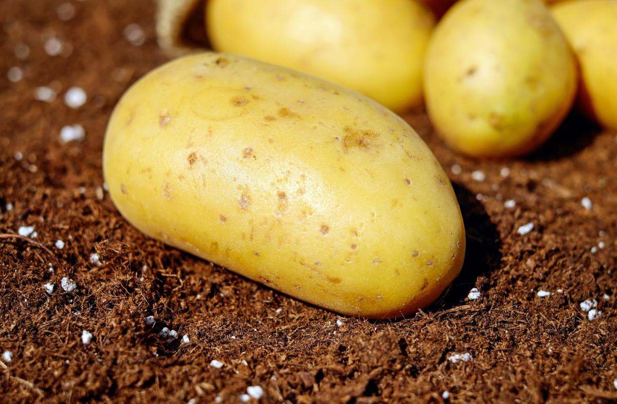 Kartoffel Bilder Kostenlos kostenlose foto lebensmittel ernte produzieren gemüse garten