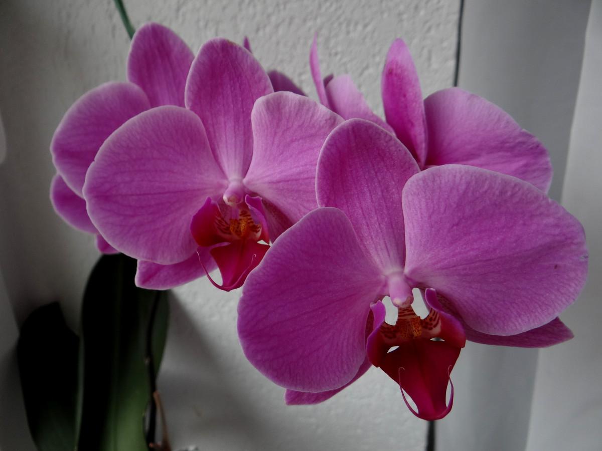 Flowering House Plants Purple free images : book, flower, petal, spring, pink, azalea