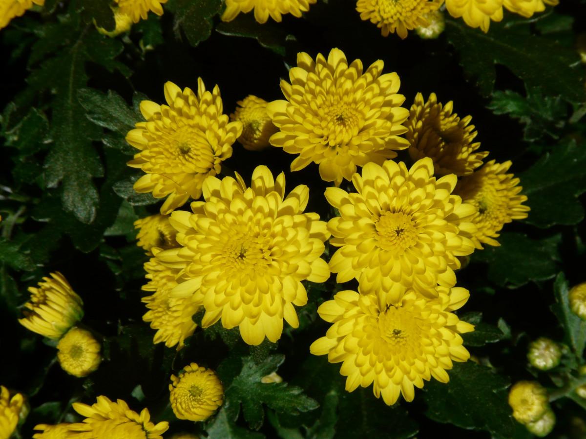 Chrysanthemum herb