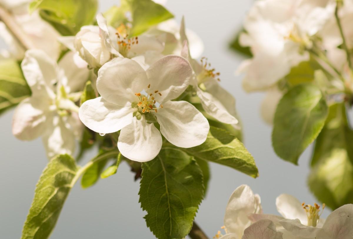 Omenapuun Kukka