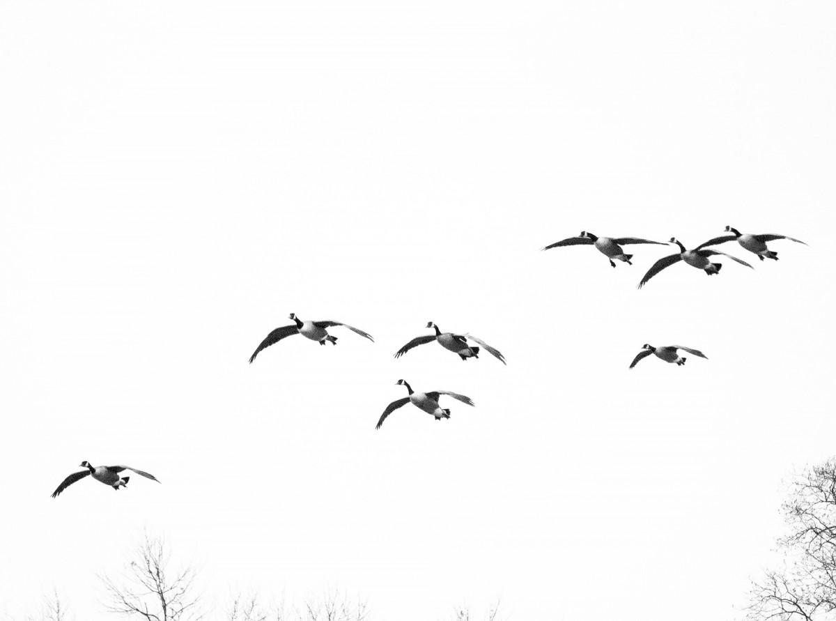 Gambar Cabang Sayap Kawanan Garis Penerbangan Burung