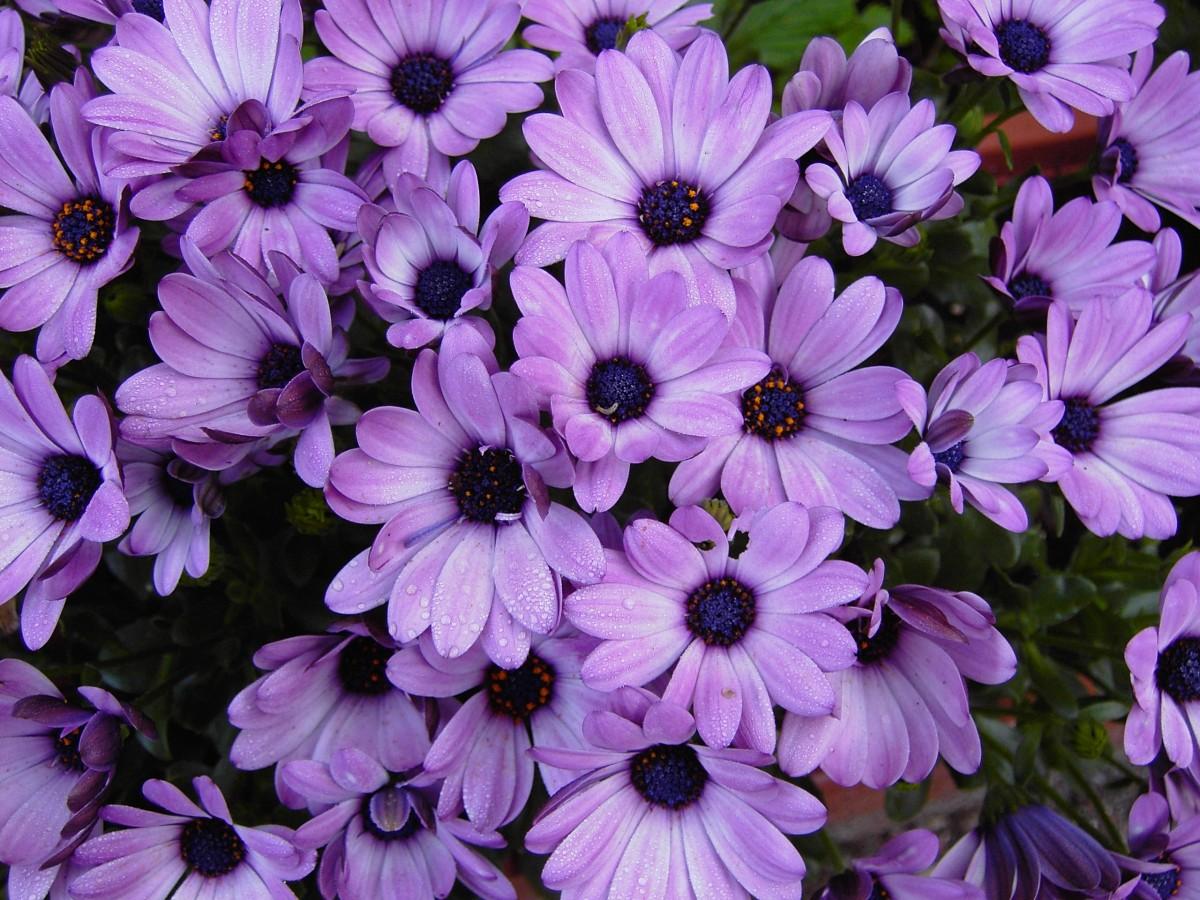 Садовый цветок с фиолетовыми цветами фото