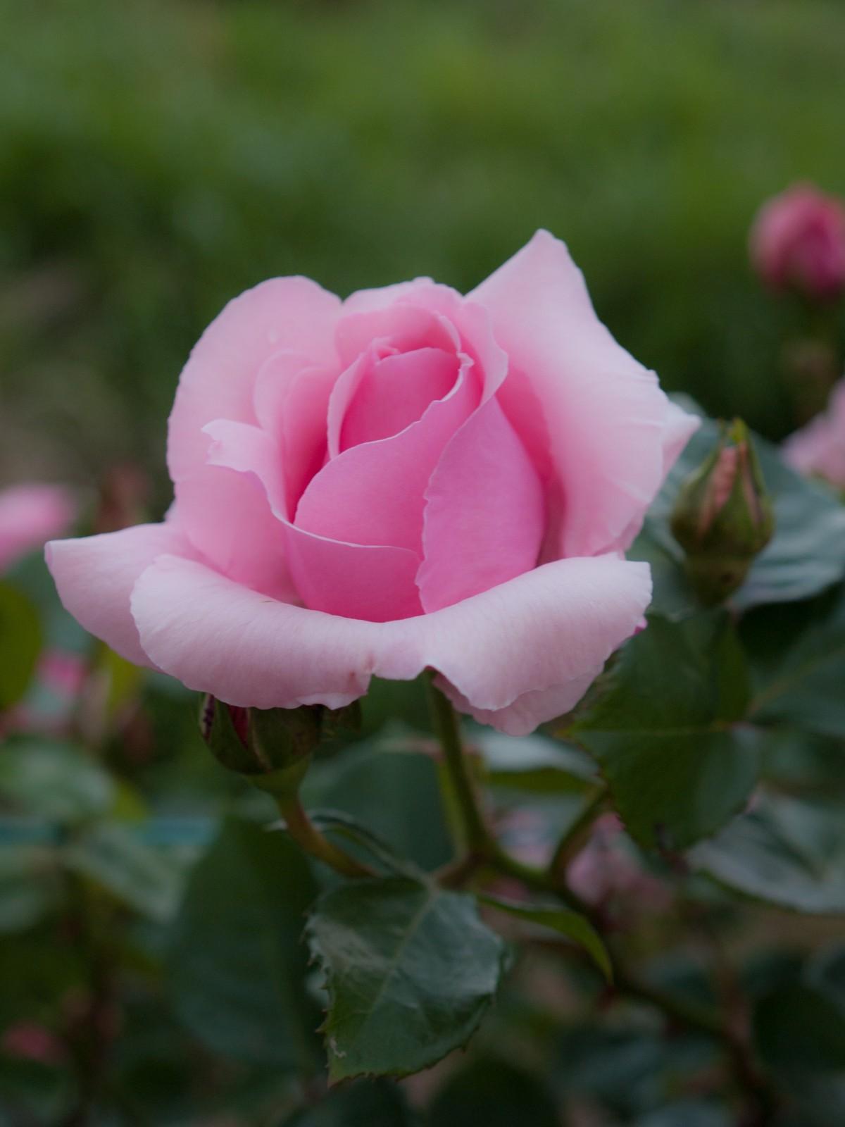 картинки розы розового цвета существенно отличаются