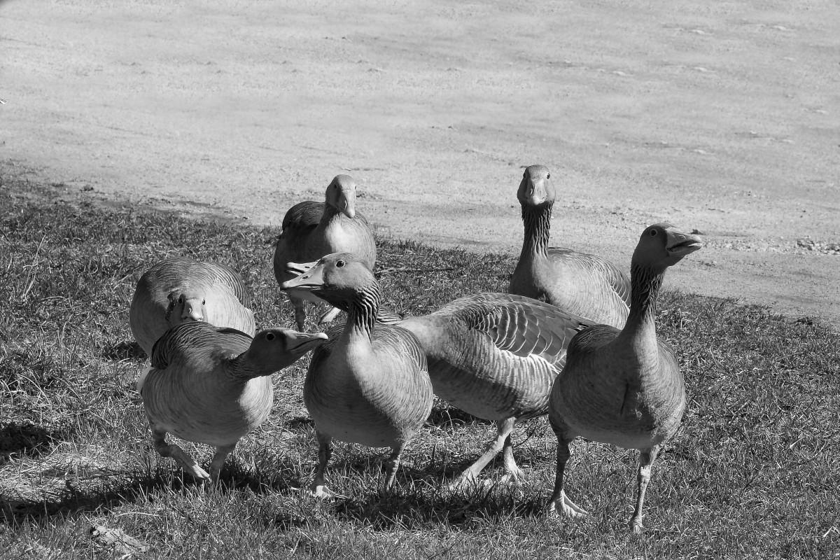 Fotos Gratis : Pájaro, En Blanco Y Negro, Fauna Silvestre