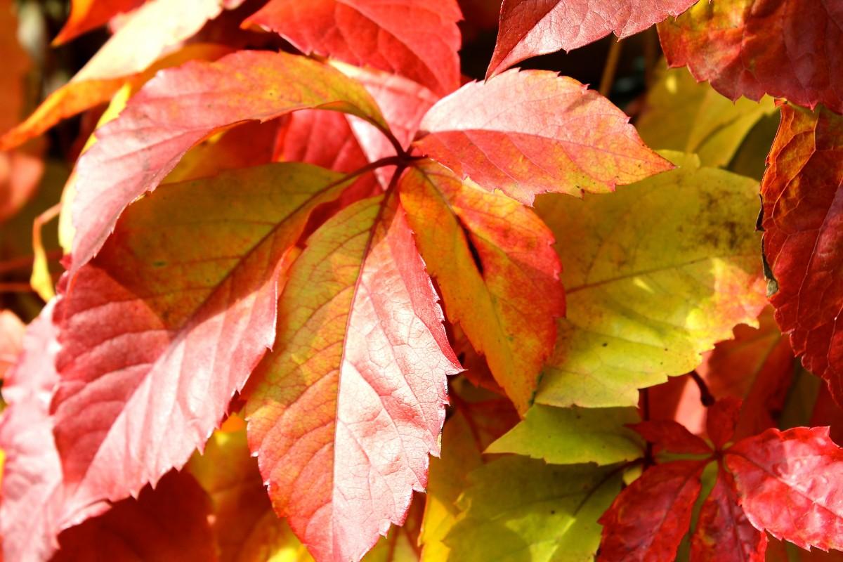 arbre branche plante du vin feuille fleur pétale rouge l'automne saison érable feuille d'érable Feuillage d'automne Partenaire de vin plante à fleurs Vendange Plante ligneuse Plante terrestre