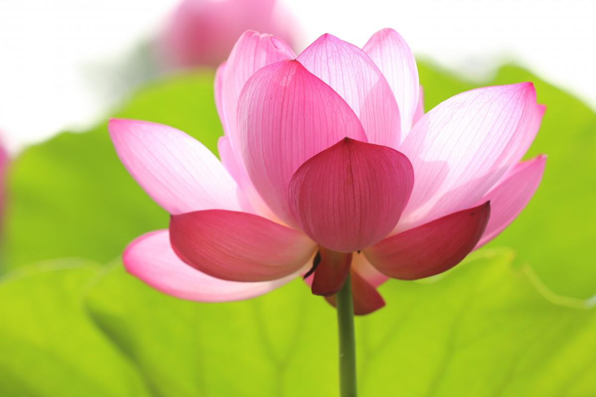 images gratuites fleur p tale floral rose lotus sacr plante aquatique macrophotographie. Black Bedroom Furniture Sets. Home Design Ideas