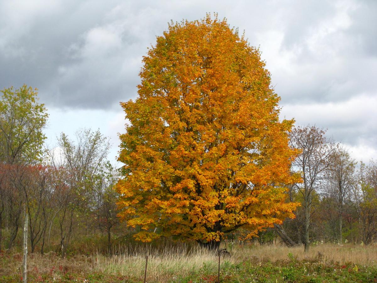 Kostenlose foto baum blatt gr n herbst gelb garten jahreszeit ahornbaum farben - Garten baum fallen ...