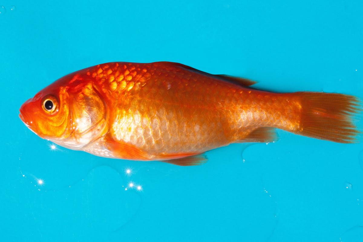 Free images water swim pet aquarium goldfish for Fish for gold