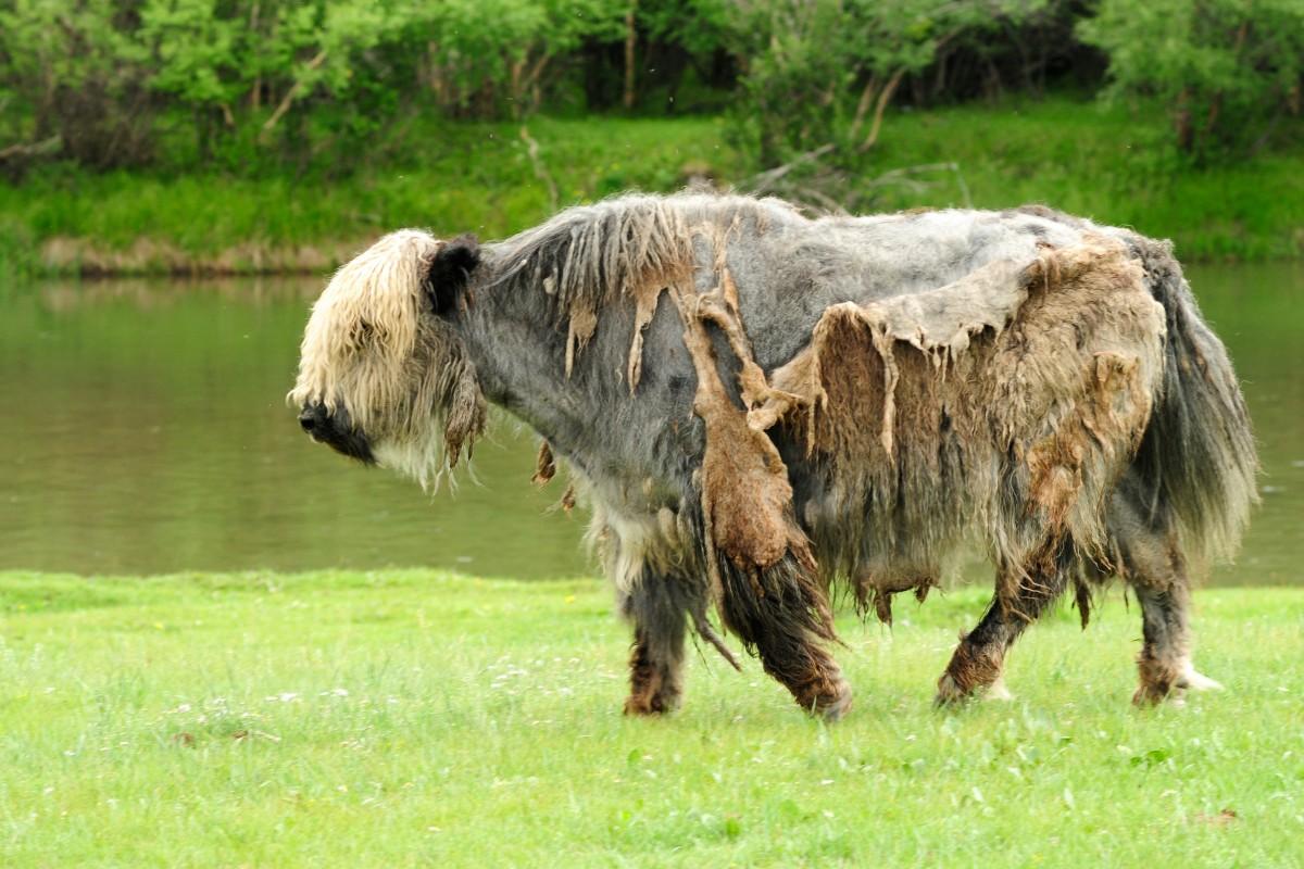 Images gratuites prairie animal sauvage troupeau - Photos de moutons gratuites ...