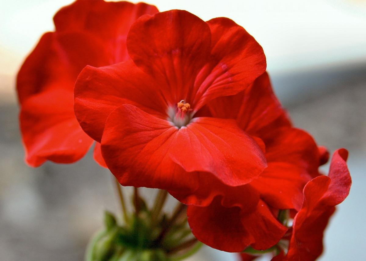 images gratuites p tale floraison flore plante en pot fleur rouge g ranium jardinage. Black Bedroom Furniture Sets. Home Design Ideas