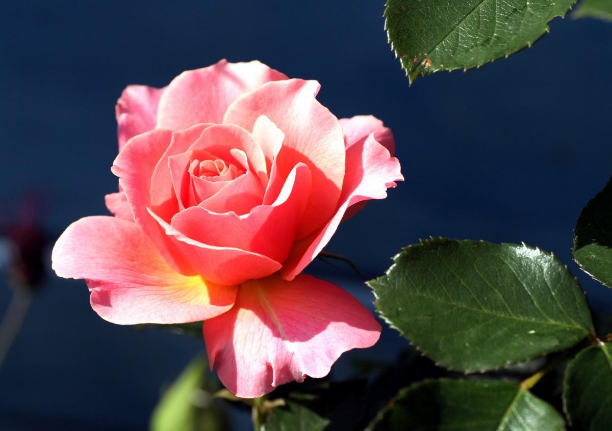 Картинки самые красивые розы для тебя, открытки для души