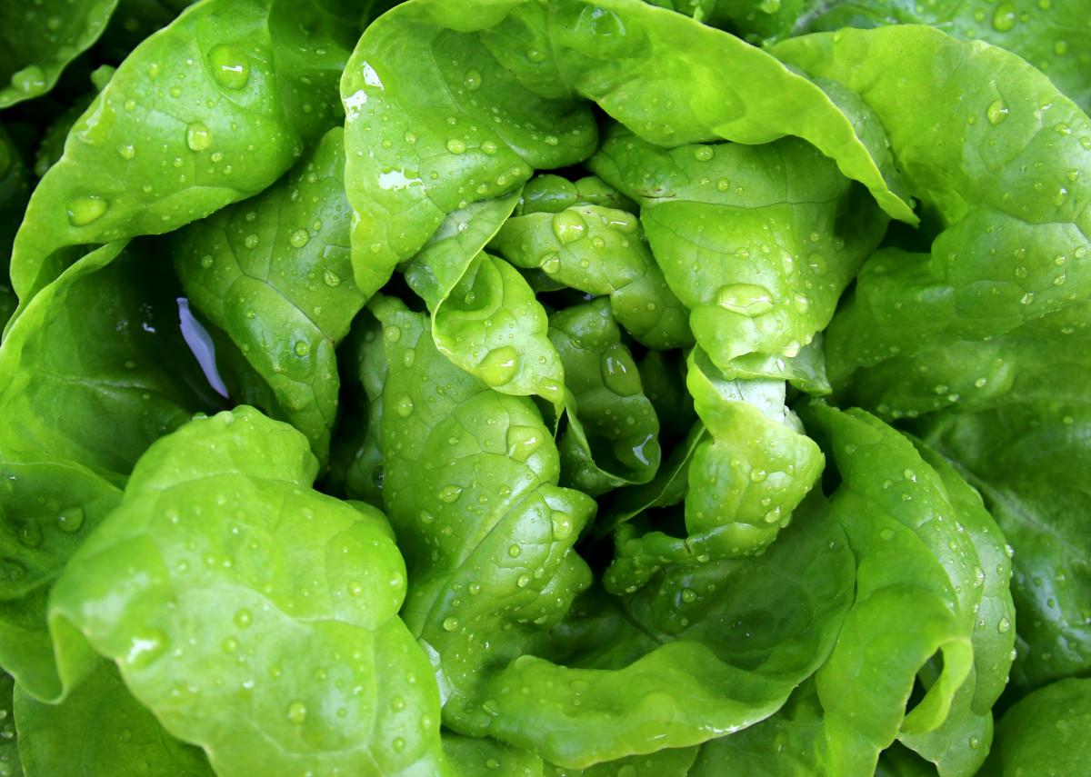 Как выращивать салат в домашних условиях - wikiHow 44