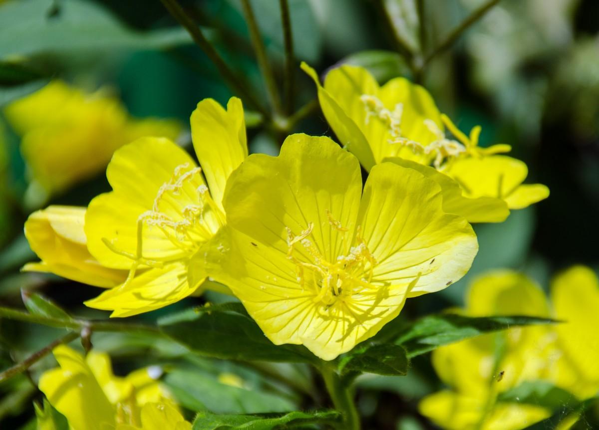 Common Yellow Garden Flowers free images : blossom, petal, bloom, green, botany, garden, flora