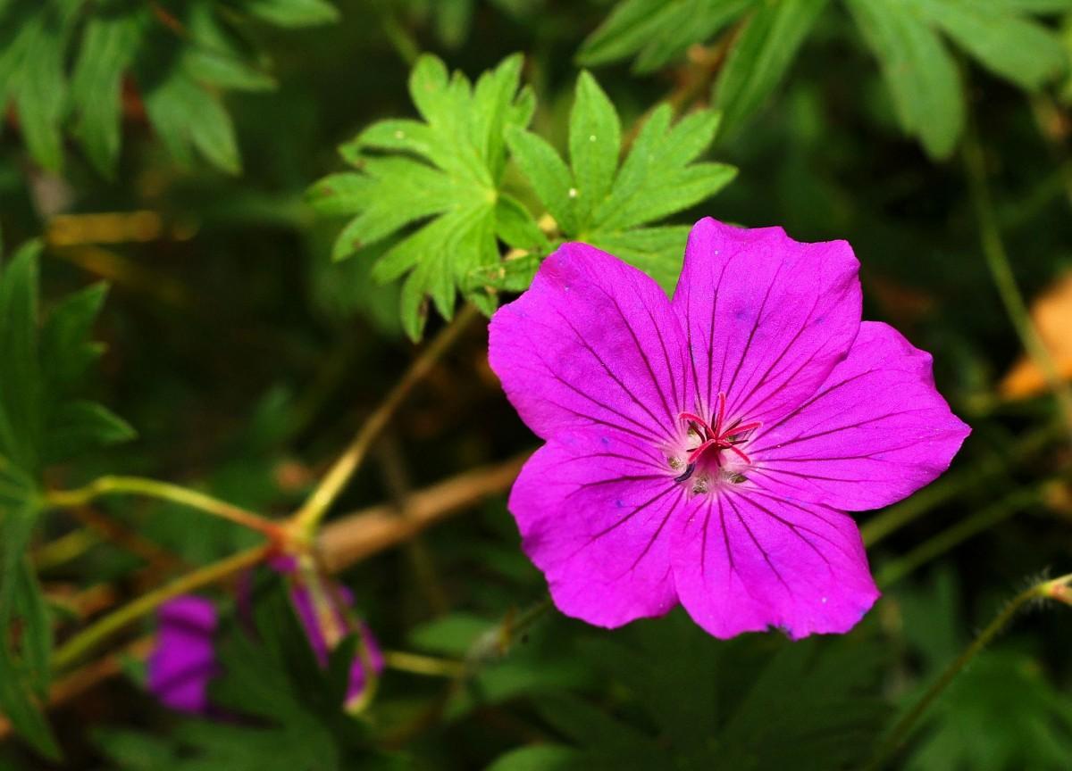 Images gratuites la nature violet p tale floraison printemps bleu flore fleur sauvage - Beau jardin rose and geranium ...