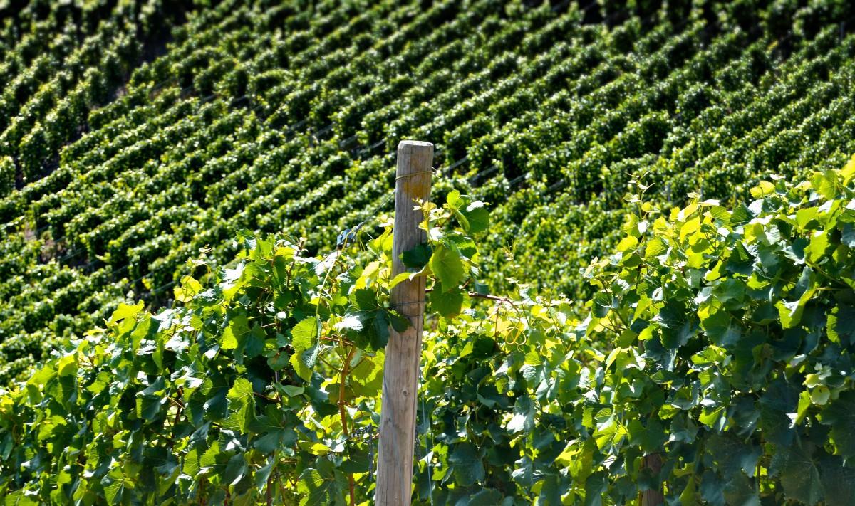 工場 グレープ ぶどうの木 ブドウ園 ワイン フィールド 葉 花 フード 緑 作物 作物 黄 農業 健康 閉じる ブドウ 緑の植物 葉 ゴールド ベリー 低木 明るい ブドウ プランテーション ワイン醸造 再構築 開花植物 ヘンケル 陸上植物 屋外構造