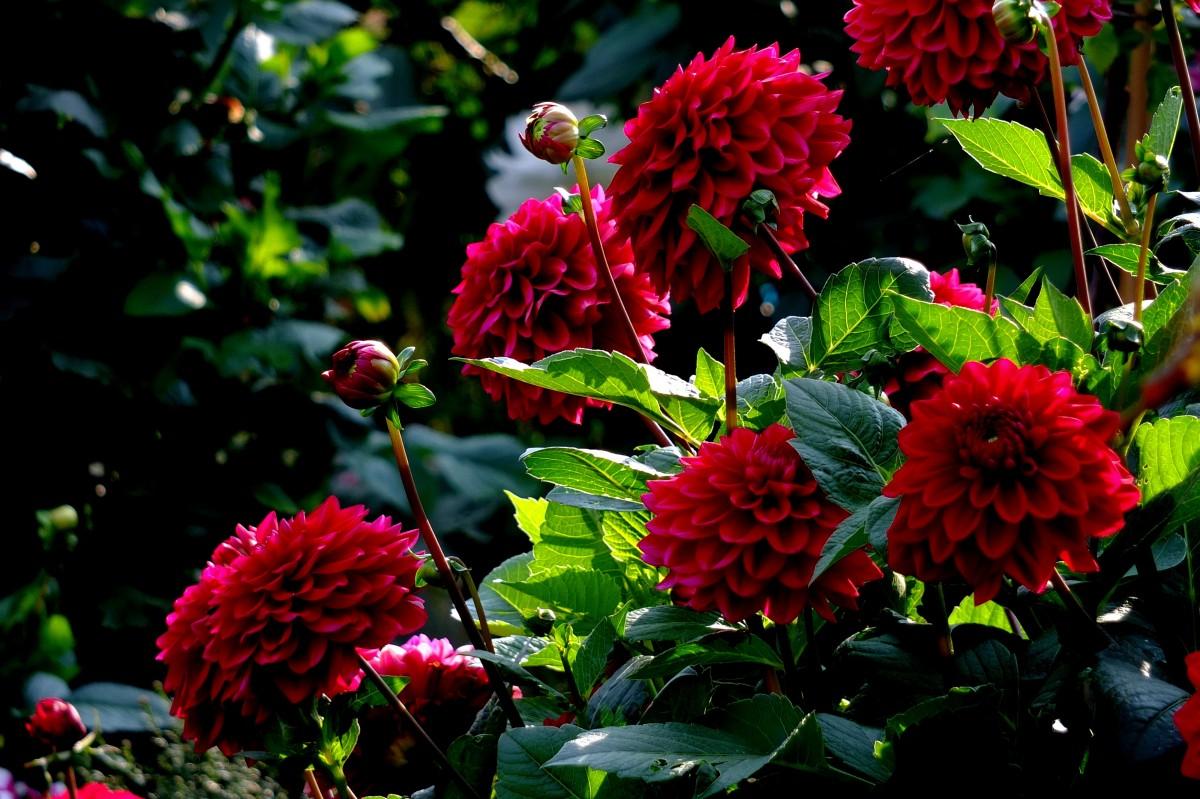 Images gratuites la nature feuille fleur t rouge for Arbuste de jardin