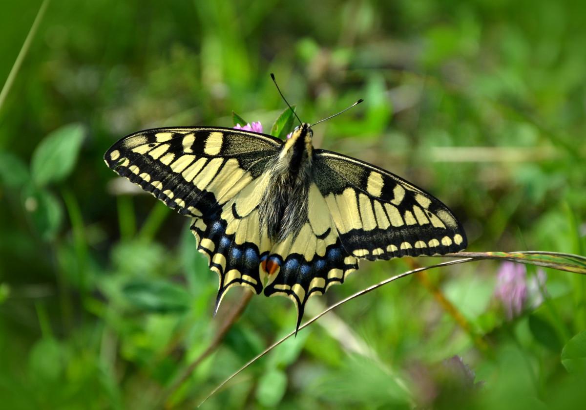 fun facts about monarch butterflies
