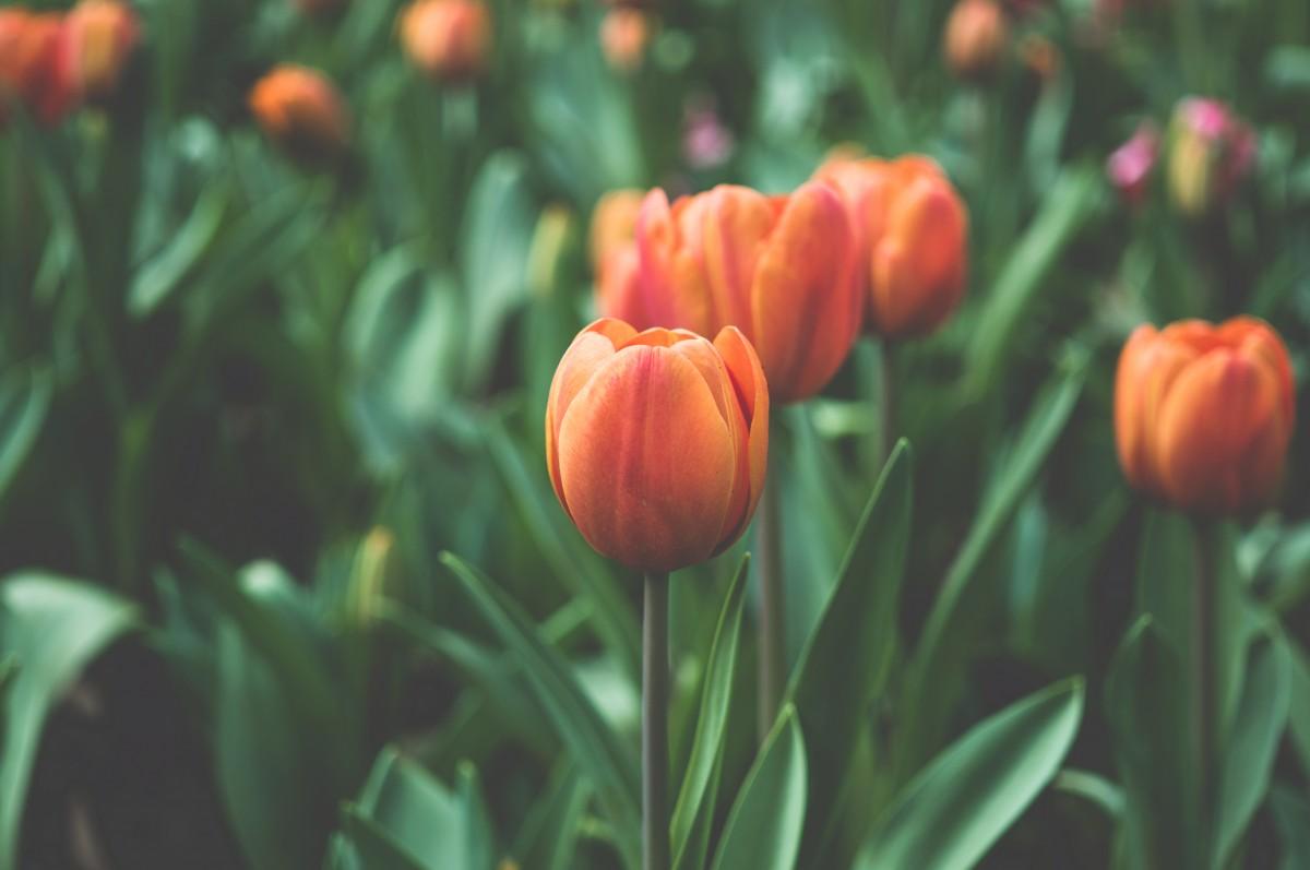 Free Images Petal Floral Tulip Orange Botany Garden Flora