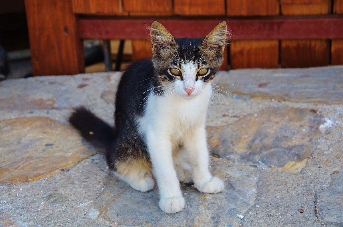 Free Images : white, animal, fur, kitten, macro, brown ...